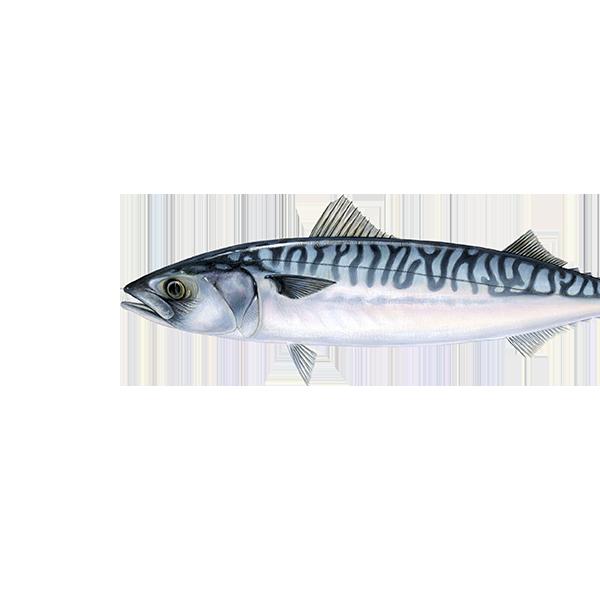Scrumbie albastră (Macrou de Atlantic)